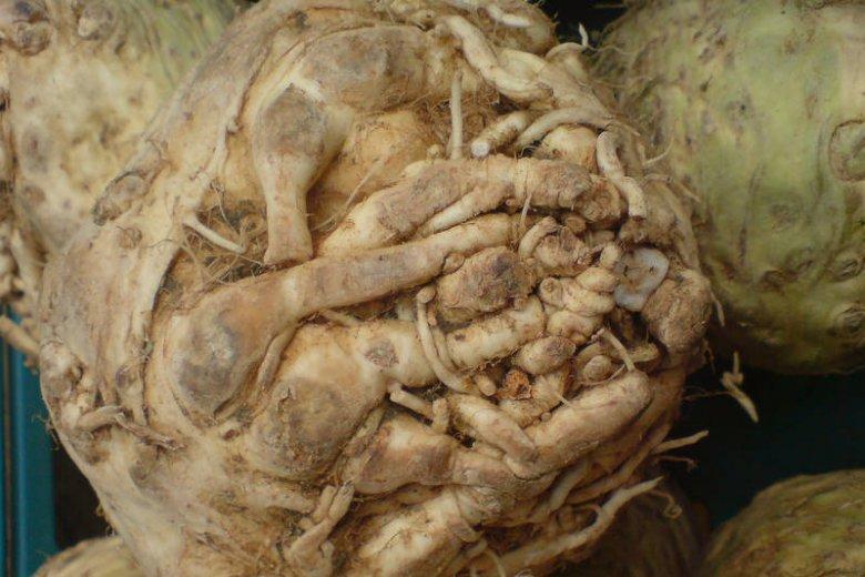 Seler korzeniowy na świecie jest mniej popularny niż naciowy. Ale to bogactwo witamin i minerałów i bardzo niskokaloryczne warzywo
