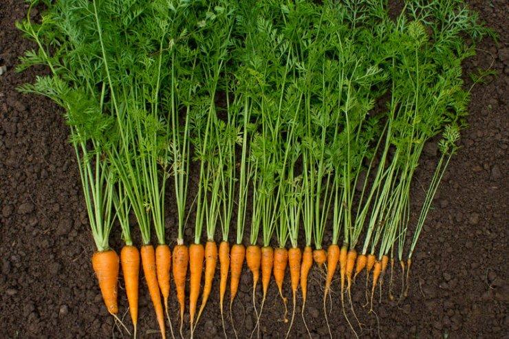 Marchewka zjadana na surowo to źródło witaminy A i beta-karotnenu